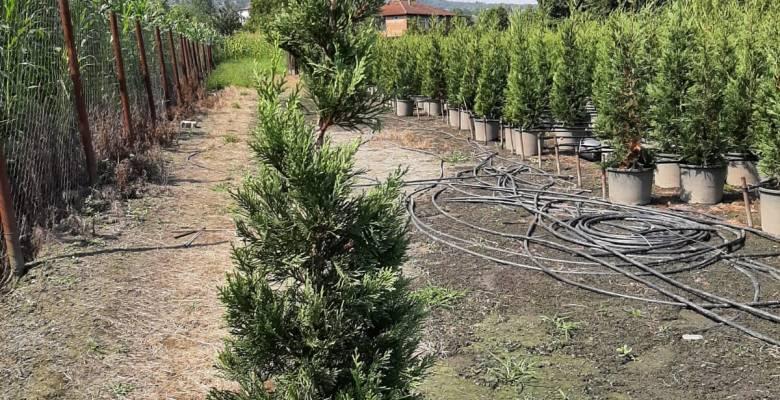 Leylandi ; En çok tercih edilen çit bitkisi!