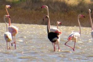 Siyah Flamingo Türkiye'de